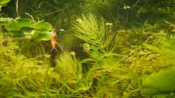 Red Fire Garnele knapp unter der Wasseroberfläche