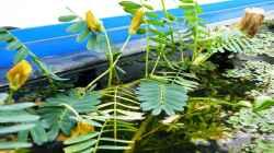 Wassermimose mit Blüten - 25.10.2011