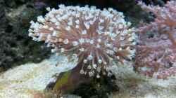 Pflanzen im Aquarium Meerwasser Nano Cube 60L Marinus