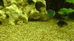 Moosbarben - Barbus tetrazona grün