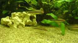 Signalbandbarben - Puntius denisonii