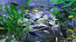 Vordergrund: Dominante Böcke von Melanochromis Maingano und Auratus sowie Ps. Zebra