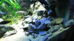 Update 12.07.12 Nimbochromis Livingstonii (Schläfer, Kaligono) über Steinhaufen