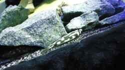 Update 12.07.12 Nimbochromis Livingstonii (Schläfer, Kaligono) in typischer Stellung