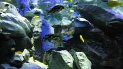 Update 12.07.12 Nimbochromis Livingstonii (Schläfer, Kaligono)