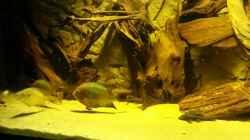 Besatz im Aquarium Cichlidenbecken