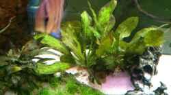 Echinodorus Ozelot - der Froschlöffel