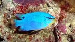 Besatz im Aquarium Sera marin Biotop Cube 130