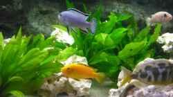 Besatz im Aquarium malawi.mario 450l Becken