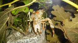 Besatz im Aquarium Clarkii Wohndschungel