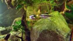 Besatz im Aquarium Spirit of West Africa/ nur noch Beispiel
