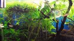 Besatz im Aquarium Trichogaster chuna´s Playground