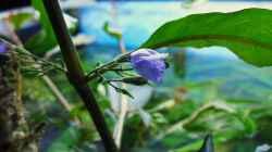 Hygrophila in Blüte I