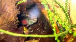 Besatz im Aquarium Pulchers Paradiseaufgelöst