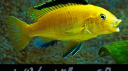 Labidochromis Yellow sp. Gold