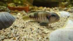 Besatz im Aquarium Tanganjika 240 l