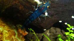 blaue Tigergarnele