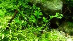 Bolbitis heteroclita `Difformis`