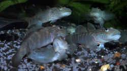 Rhinogoius formosanus Gruppe
