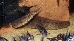 Macrognathus maculatus Männchen