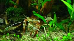Procambarus clarkii Ghost Flusskrebs