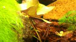 Grüner Tigerlotus