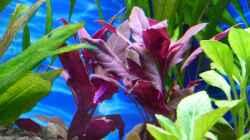 Breitblättriges, rotes Papageienblatt