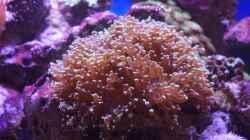 Euphyllia paradivisa (Froschlaichkoralle) `Heute` 11.14