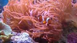 Falscher Clownfisch