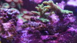 LSD Leierfische (Pärchen)