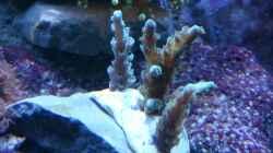 Acropora tenuis `Vorher` 02.14