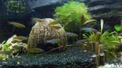 Besatz im Aquarium Oryzias-Becken 39l