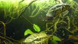 Besatz im Aquarium Parachanna obscura