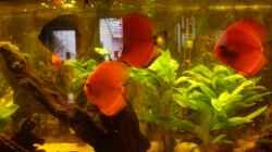 Besatz im Aquarium Diskus Panorama 160