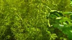 Pflanzen im Aquarium Biber