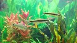2 Rüsselbarben und ein Schwanzfleck-Algenfresser schwimmen gemeinsam im Schwarm