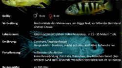 Artentafel zu Labidochromis sp. perlmutt