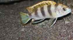 Besatz im Aquarium Afrikas Lake Malawi