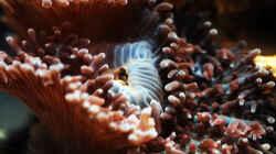Besatz im Aquarium Seewasser