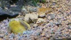 Körbchenmuscheln (Corbicula javanicus)