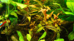 Pflanzen im Aquarium Nur noch Beispiel