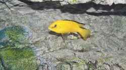 Labidochromis caeruleus Bock