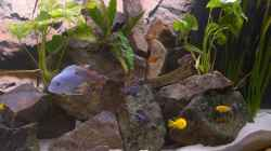 Besatz im Aquarium 900l Mbuna-Becken
