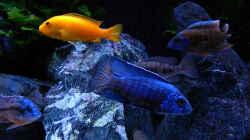 Besatz im Aquarium My Malawi-Dream