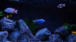 Aquarium My Malawi-Dream