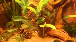 Rubinrote Schwertpflanze