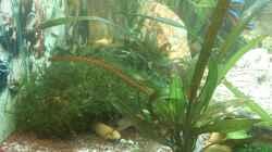 Pflanzen im Aquarium Juwel Rio 240