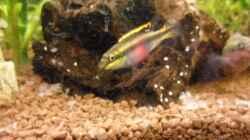 Purpurprachtbarsch (Pelvicachromis pulcher)