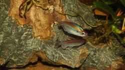 Kongosalmler lat. Phenacogrammus interruptus beim Balztanz