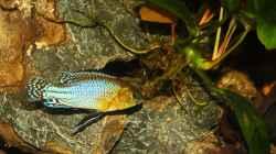 Pseudocrenilabrus nicholsi -Male/Männchen